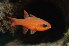 Cardinal Fish. A underwater photo of an red cardinal-fish stock photo
