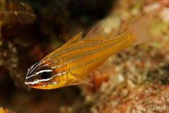 Cardinal fish (Apogon cyanosoma) - Thailand Stock Image