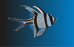 Cardinal fish. Banggai cardinal fish in water royalty free illustration