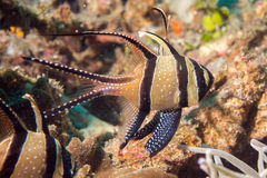 Cardinal fish detail close up while diving Royalty Free Stock Photography