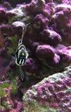 Cardinal fish Stock Images