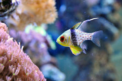Cardinal fish. Pajama Cardinalfish (Sphaeramia nematoptera) photographed in an aquarium Stock Photo