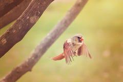 Cardinal in flight Stock Photos