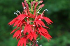 Cardinal Flower. Lobelia cardinalis Cardinal Flower infloresence with stunning red coloration stock photo