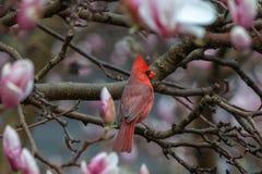 Cardinal in flowering Magnolia tree stock photos