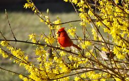 Cardinal and flowers Royalty Free Stock Images