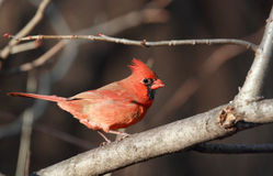 Cardinal in forest Stock Photo