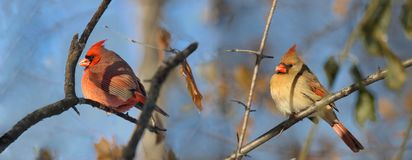 Cardinal in forest during winter. Couple of red cardinal in forest during winter Stock Photos