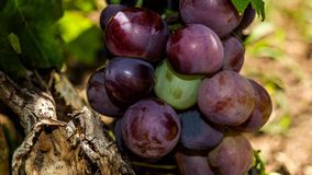 Cardinal grape. Cardinal is a table grape variety first produced in California in 1939. The grape is a cross of the Flame Seedless or Flame Tokay and Ribier royalty free stock photo