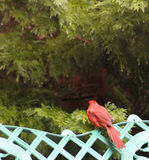 Cardinal - hable al ala imagen de archivo
