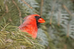 Cardinal hinds in a blue spruce. Cardinal peeks its head out as it hides of cover in a blue spruce stock image