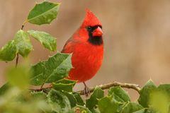 Cardinal In A Holly Bush Stock Photo