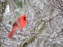 Cardinal on icy redbud tree Stock Photography