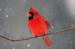 Cardinal In Snowstorm Royalty Free Stock Photos