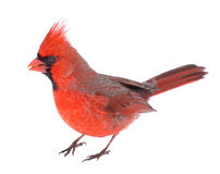 Cardinal Isolated. Male northern cardinal, Cardinalis cardinalis, isolated on white Stock Photography