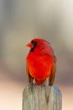 Cardinal juvénile Photo libre de droits