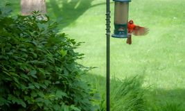 Cardinal Landing on a bird feeder