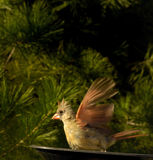 Cardinal Landing Into The Wind Stock Photography