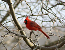 Cardinal in a Leafless Tree. A cardinal, redbird, perches in a leafless apple tree in late winter or early spring Royalty Free Stock Photo