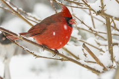 A cardinal on a limb in snow. A horizontal photograph of a cardinal sitting on a limb while it is snowing Royalty Free Stock Photo