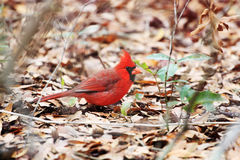 Cardinal loking at you Stock Image