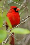 Cardinal looking around Stock Photo