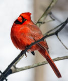 Cardinal Looks Your Way Royalty Free Stock Photography