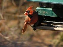 Cardinal mâle 2 Images libres de droits