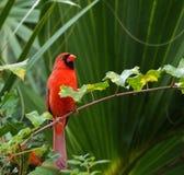 Cardinal mâle Image stock