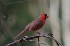 Cardinal mâle Photos stock