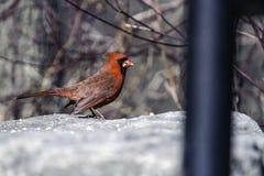 Cardinal mâle Images stock