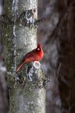 Cardinal mâle Photo libre de droits