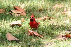 Cardinal male. Cardinal on grass and magnolia leaves eating royalty free stock images