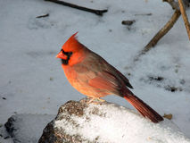 Cardinal Male. Standing In Snow In Morning Sun Stock Images