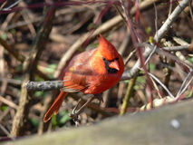 Cardinal Male. Top View In Morning Sun Royalty Free Stock Photos