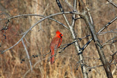 Cardinal Male. Perched On Branch In Morning Sun Royalty Free Stock Images