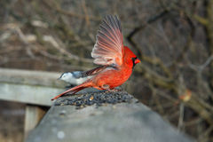 Cardinal Male Stock Images