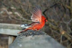Cardinal Male. On Boardwalk Open Wing In Sun stock images