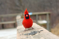Cardinal Male. On Boardwalk In Morning With Seeds Stock Image