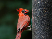 Cardinal Male Royalty Free Stock Photo