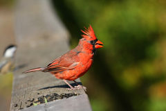 Cardinal male Stock Photo