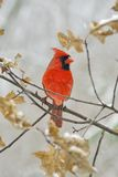 Cardinal-Male. Male cardinal sitting on a branch Stock Images