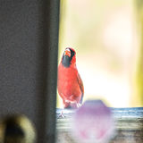 Cardinal male bird flying into home door glass Royalty Free Stock Images