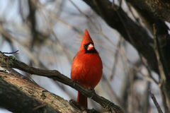 Cardinal Male on a Branch. Photo of a red male caridinal bird sitting on a tree branch Royalty Free Stock Photo