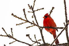 Cardinal. A male Cardinal high up in a tree after a winter storm Stock Image