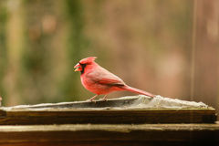 Cardinal Male. The males are the red birds with a black mask. Cardinals are aggressive birds and occupy territory year round. both sexes are accomplished stock photography