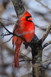 Cardinal. Male northern cardinal in winter Stock Photography