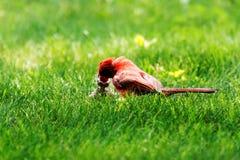 Cardinal masculin alimentant son poussin sur une pelouse verte Image libre de droits