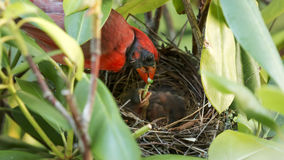 Cardinal masculin alimentant un catapillar à ses jeunes Photographie stock