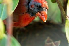Cardinal masculin avec la nourriture pour des bébés Photographie stock libre de droits